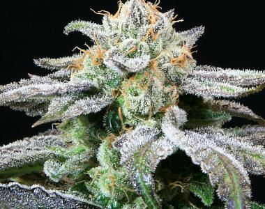 Subcool Seeds - Grape Inferno cannabis seed