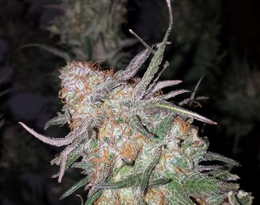 Subcool Seeds - Hurkle cannabis seed