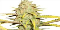Royal Queen Seeds - O.G. Kush cannabis seeds