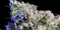 Elemental Seeds - Huckle Berry cannabis seeds