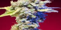 Elemental Seeds - Mango Tango cannabis seeds