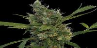 Barneys Farm - Morning Glory cannabis seeds