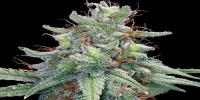 Barneys Farm - Auto Blue Cheese cannabis seeds