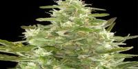 Big Buddha - Buddha Haze Automatic cannabis seeds