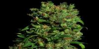 VIP Seeds - Critical VIP cannabis seeds