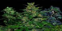 VIP Seeds - VIP Auto Mix cannabis seeds