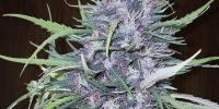 Ace Seeds - Golden Tiger cannabis seeds