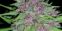 Ace Seeds - Violeta cannabis seeds