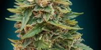 Advanced Seeds - Skunk 47 Auto cannabis seeds