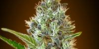 Advanced Seeds - Somango Auto cannabis seeds