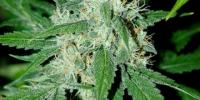 Advanced Seeds - Haze Mist cannabis seeds