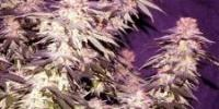 Apothecary Genetics - Blue Afi cannabis seeds