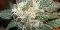 Apothecary Genetics - Bubba Berry cannabis seeds