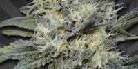 Auto Seeds - Auto Chemdog cannabis seeds