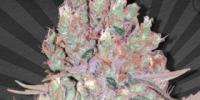 Auto Seeds - Berry Ryder cannabis seeds