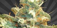 Auto Seeds - Polar Express cannabis seeds