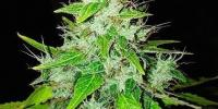 Barneys Farm - 8 Ball Kush cannabis seeds