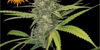 Barneys Farm - G13 Haze cannabis seeds