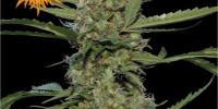 Barneys Farm - Laughing Buddha cannabis seeds
