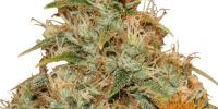 Barneys Farm - Lemon Potion CBD Auto cannabis seeds