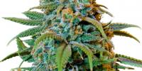 Barneys Farm - Liberty Haze cannabis seeds