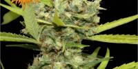 Barneys Farm - Pineapple Chunk cannabis seeds