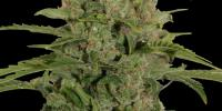 Barneys Farm - Triple Cheese cannabis seeds