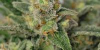 BC Bud Depot - Harlequin Bx4 cannabis seeds