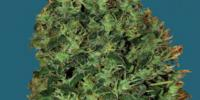 Big Buddha - Cheesey Dick cannabis seeds