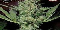 Big Buddha - Freeze Cheese 89 cannabis seeds