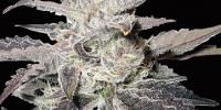 Bighead Seeds - Freeze Berry Auto cannabis seeds