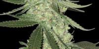 Bighead Seeds - Big Stilton Auto cannabis seeds