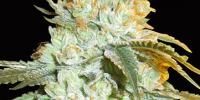 Bighead Seeds - Head Stash Auto cannabis seeds