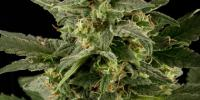 Black Skull - Auto Pineapple Gum cannabis seeds