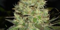 Black Skull - Jack Herer cannabis seeds