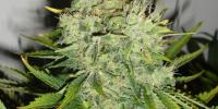Black Skull - Pepperjack Haze cannabis seeds