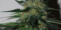 Black Skull - Pineapple Gum cannabis seeds