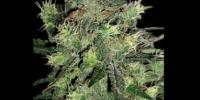 Blim Burn Seeds - AK Automatic cannabis seeds