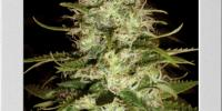 Blimburn Seeds - Critical + cannabis seeds