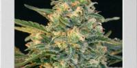 Blimburn Seeds - Guanabana cannabis seeds