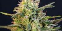 Blimburn Seeds - Mamba Negra cannabis seeds