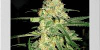 Blim Burn Seeds - Original Clone cannabis seeds