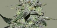 Bomb Seeds - Gorilla Bomb cannabis seeds