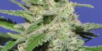 Bomb Seeds - Widow Bomb cannabis seeds