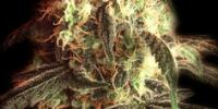 Bulldog Seeds - Fast Ryder 1 cannabis seeds
