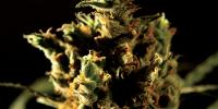 Bulldog Seeds - The Bulldog Haze cannabis seeds