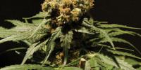 Bulldog Seeds - The Chronic cannabis seeds