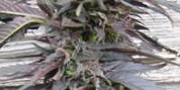 Canadian Bred Seeds - Lethal Purple cannabis seeds