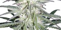 CannaBioGen - Destroyer cannabis seeds