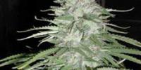 CannaBioGen - Leshaze cannabis seeds